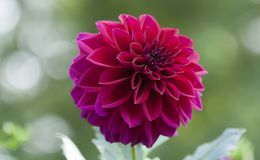 Rosa ou Fuschia Dahlia Flower na flor imagem de stock royalty free