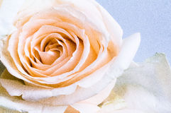 Rosa Overexposed Fotografia de Stock Royalty Free