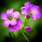 Rosa oxalis oxalis corymbosa Stockfotos