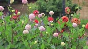 Rosa pösiga dahliablommor och orange zinnias lager videofilmer