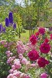 rosa Púrpura-violeta en el rosario Fotos de archivo