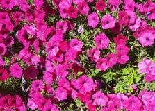 Rosa pansies Arkivbilder