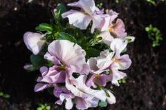 Rosa Pansies im Garten lizenzfreie stockfotos