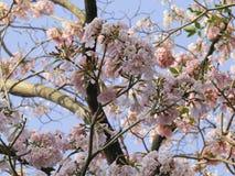 Rosa Pantip Stockbild