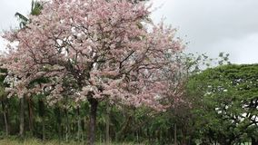 Rosa Pantip-Blütenblumen stock video footage