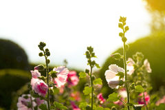 Rosa Papaveraceae Lizenzfreie Stockfotografie