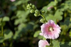 Rosa Papaveraceae Stockfoto