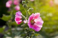 Rosa Papaveraceae Lizenzfreie Stockbilder
