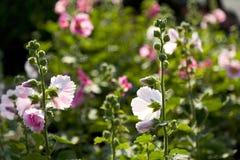 Rosa Papaveraceae Stockfotos