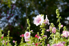 Rosa Papaveraceae Stockfotografie