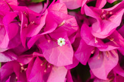 Rosa pappers- blommor Arkivbild