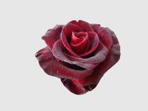 Rosa para o Valentim Imagem de Stock Royalty Free