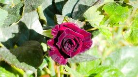 Rosa para uma rosa imagens de stock royalty free