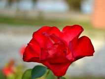 Rosa in parco Immagini Stock