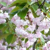 Rosa Pastellkirsche Kirschblüte in Japan in blühender Jahreszeit lizenzfreie stockbilder