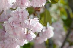 Rosa Pastellkirsche Kirschblüte in Japan in blühender Jahreszeit stockfotos