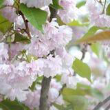 Rosa Pastellkirsche Kirschblüte in Japan in blühender Jahreszeit lizenzfreies stockbild