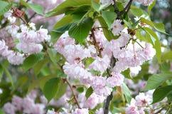 Rosa Pastellkirsche Kirschblüte in Japan in blühender Jahreszeit stockbild