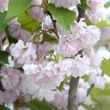 Rosa Pastellkirsche Kirschblüte in Japan in blühender Jahreszeit lizenzfreies stockfoto