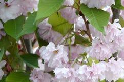 Rosa Pastellkirsche Kirschblüte in Japan in blühender Jahreszeit lizenzfreie stockfotos