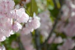 Rosa Pastellkirsche Kirschblüte in Japan in blühender Jahreszeit lizenzfreie stockfotografie