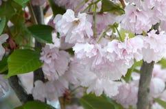 Rosa Pastellkirsche Kirschblüte in Japan in blühender Jahreszeit stockbilder
