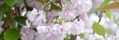 Rosa Pastellkirsche Kirschblüte in Japan in blühender Jahreszeit stockfoto