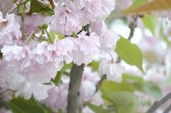 Rosa Pastellkirsche Kirschblüte in Japan in blühender Jahreszeit stockfotografie