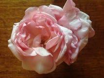 Rosa pastello Rosa antiquata Immagine Stock Libera da Diritti