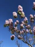 Rosa paulowniaträd Australien royaltyfri fotografi