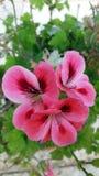 Rosa pelargon Arkivbild