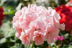 Rosa pelargon Royaltyfria Foton