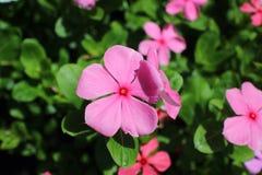 Rosa pelargon Fotografering för Bildbyråer