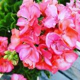 Rosa pelargon Royaltyfria Bilder