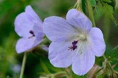 Rosa pelargon i trädgården Fotografering för Bildbyråer