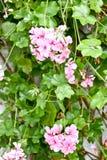Rosa pelargon med gröna sidor fotografering för bildbyråer