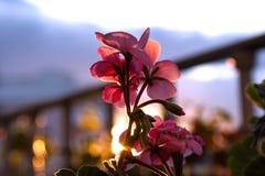 Rosa pelargon på balkong Royaltyfria Bilder