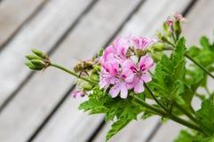 Rosa pelargonblomma i blom Fotografering för Bildbyråer