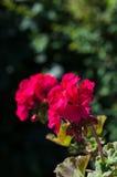 Rosa Pelargonien Stockbilder