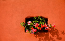 Rosa Pelargonien auf rotem walll Stockbild
