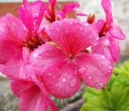 Rosa Pelargonien-Blumen-und Regen-Tropfen-Wasser lizenzfreies stockfoto