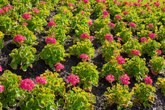 Rosa Pelargonien-Blumenbeet Lizenzfreie Stockbilder