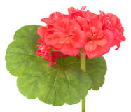Rosa Pelargonienblüte Lizenzfreies Stockfoto