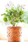 Rosa Pelargonienblumen Lizenzfreies Stockfoto