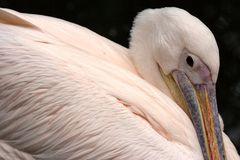 Rosa Pelican fågel royaltyfria foton
