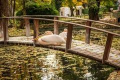 Rosa Pelikan, der auf einer Holzbrücke über dem See im a stillsteht Stockfotografie