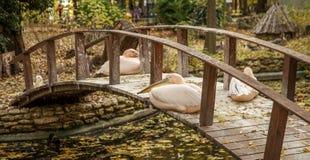 Rosa Pelikan, der auf einer Holzbrücke über dem See im a stillsteht Lizenzfreies Stockfoto