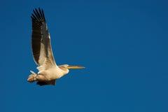 Rosa pelikan i flyg Arkivbild