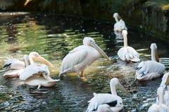 Rosa pelikan i sjön Arkivbild
