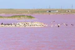 Rosa Pelikane auf einer Insel in der Mündung stockbilder